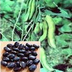 kawach-kaunch-mucuna-pruriens-extract-250x250